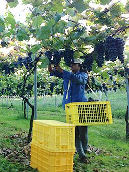 ぶどう園がつくるワイン
